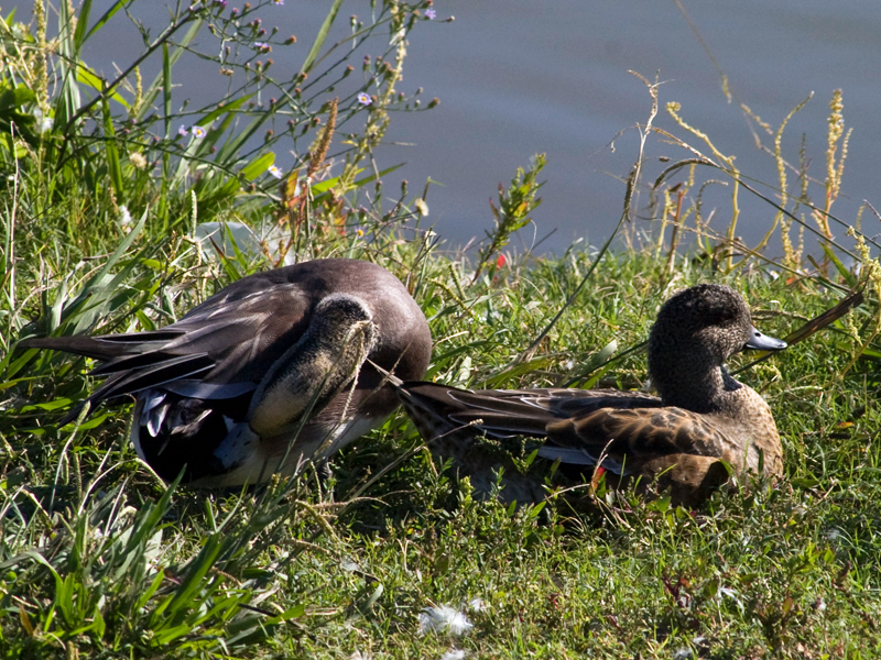 American Wigeon - Basking in the Sun