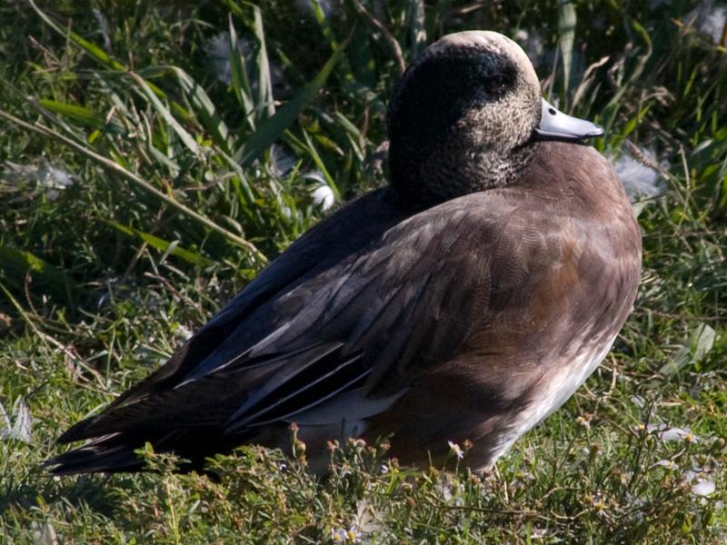 American Wigeon - Basking in the Sun