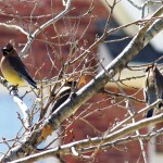 Cedar Waxwing - Late Winter Color