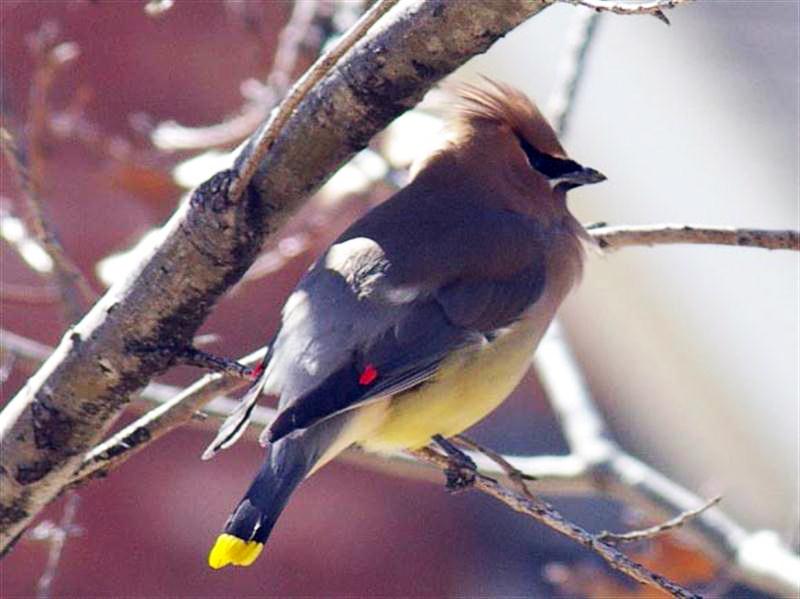 cedarwaxwing-latewintercolor-005