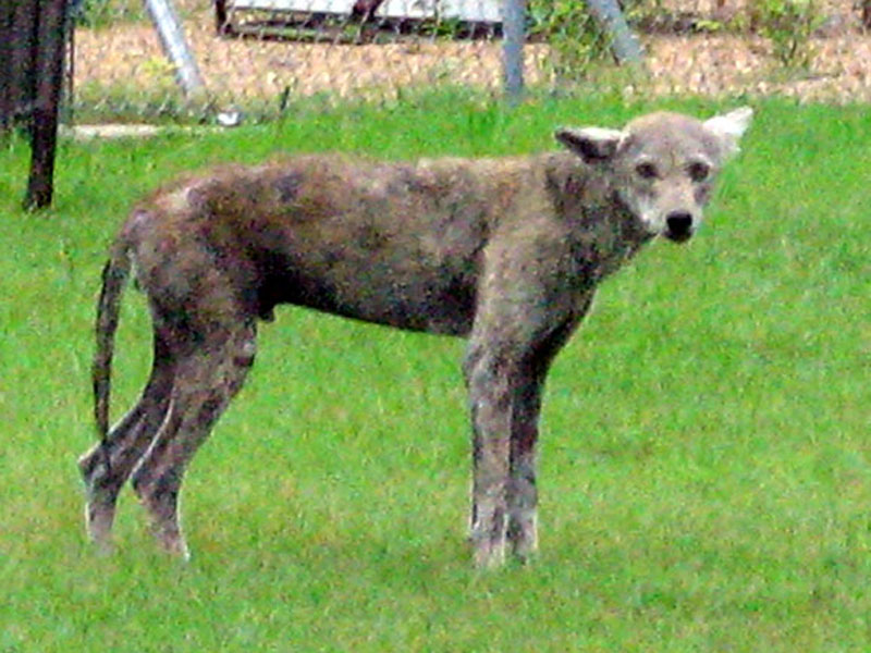 I pulled into a parking lot across the street from the church grounds, and took this picture using digital zoom for magnification. The Coyote's sorry state is clearly represented in this photograph. The Sarcoptic Mange has taken an undeniable toll on this poor animal.