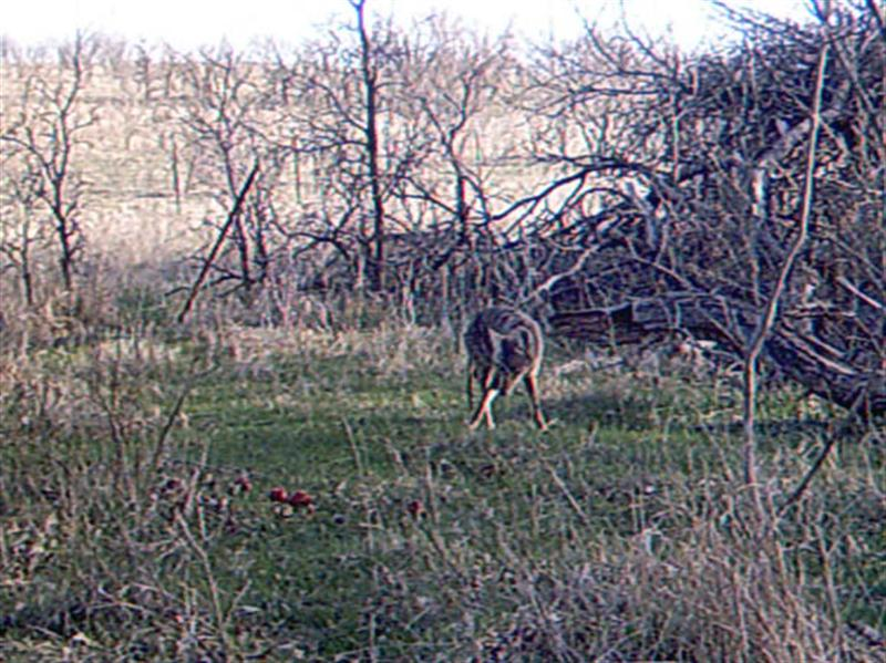 Apples proved to be a very good attractant for the Coyotes, and this site had a great deal of activity over the two day period that pictures were recorded.