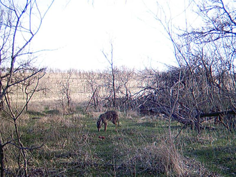 his Coyote approaches the apples warily, but I found that the Coyotes on this ranch were generally much less skittish than their more urban cousins. This photograph was taken early the first morning after the camera was setup the prior evening.