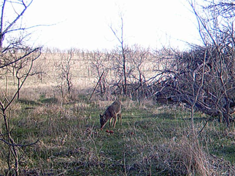 After only roughly 5 minutes the Coyote is satisfied the apples are safe, and begins to eat.