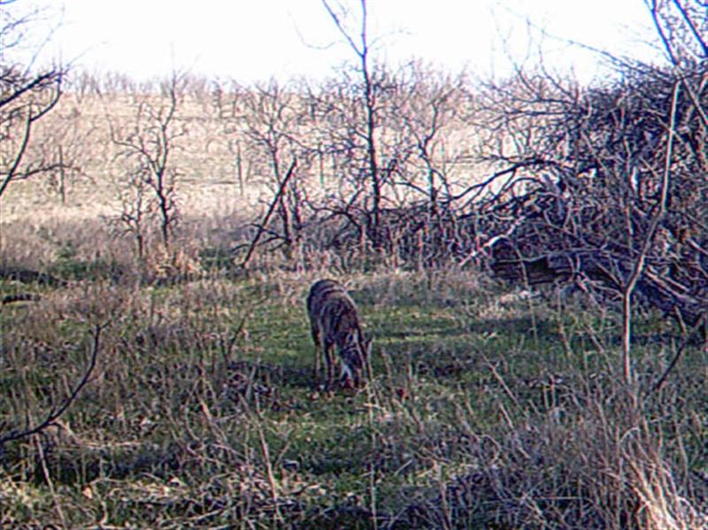 Within five minute of being frightened away by the camera, the hungry Coyote is back and eating apples again.