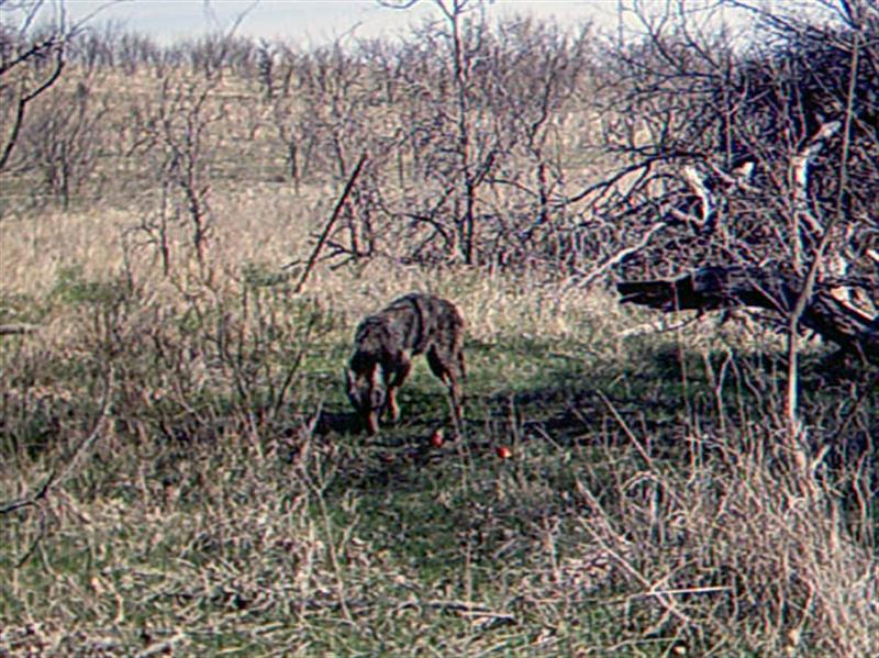 It is almost midday now, and the camera records another visitor to the site. Is this the same Coyote that was photographed 4 hours earlier? Most likely, yes. But if is not, then this is the second Coyote filmed on this day.