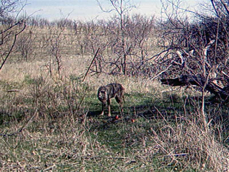 Coyotes can be difficult to differentiate visually, however there are some notable variations that can help. For instance, Coyotes can vary in color to a significant degree. Coats can be light gray to dark gray in color. They can be tan, or even a reddish, cinnamon color. The fur can be thick and healthy looking, or it can be short and uneven. Coyotes with mange are easy to spot, with large areas of missing fur exposing the dark gray skin underneath. This Coyote I would describe as being medium gray, with tan legs, and a short, uneven coat.