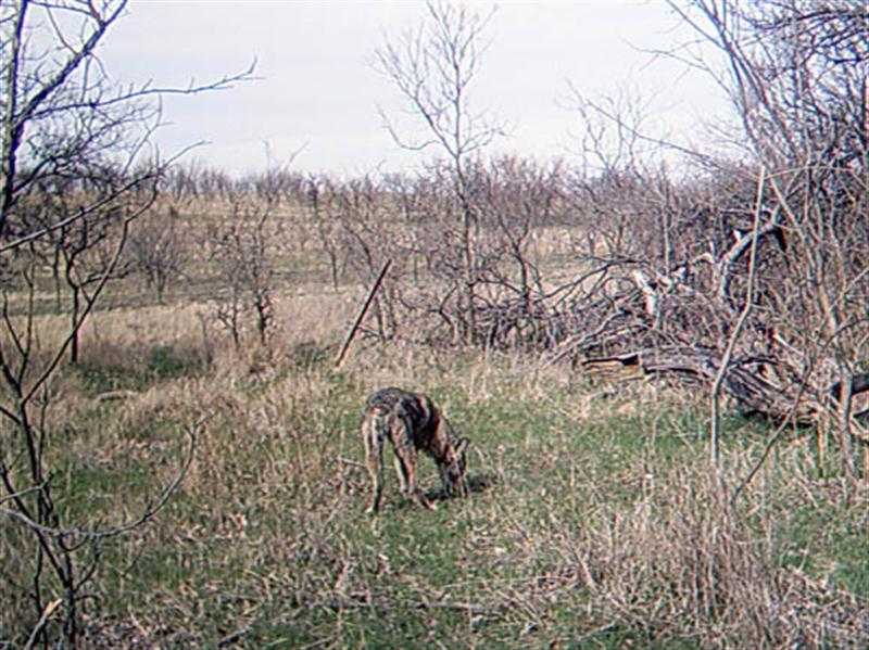 This photo was taken almost 4 hours after the previous photo, and is probably the same Coyote that was at the site earlier in the day. If it is a different Coyote, however, then it represents the third individual to be photographed on this day.