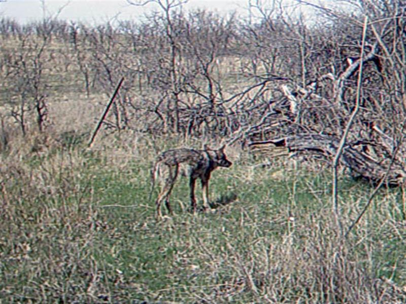This Coyote is behaving as if it has detected someone or something coming its way.