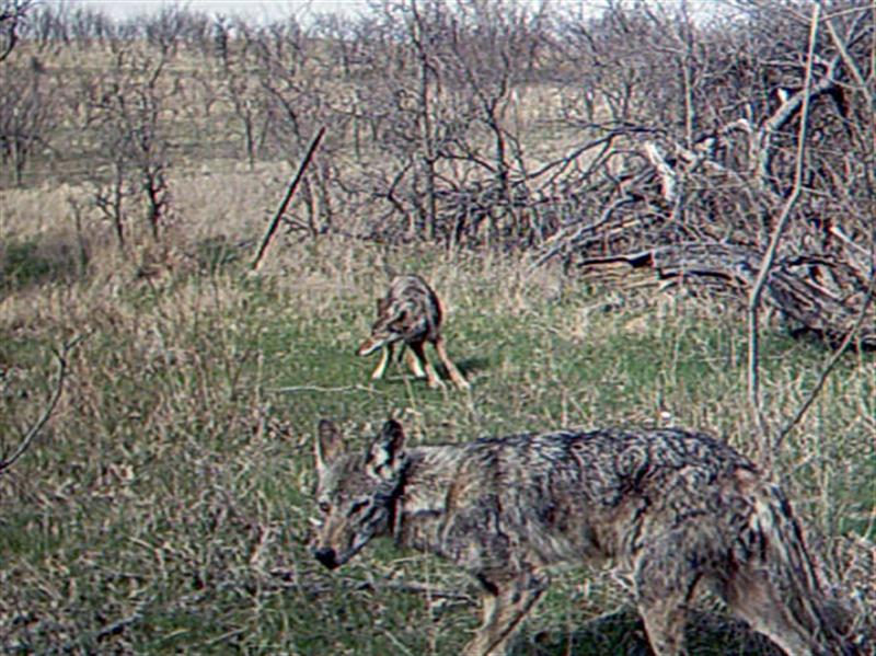 Suddenly there two Coyotes at the site. These two are possibly a mated pair, and may represent the 4th and 5th Coyotes photographed on this day.