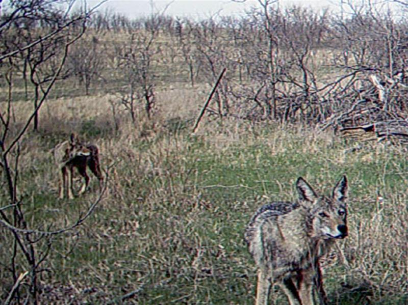 This Coyote seems keenly aware that the camera is doing something, and has probably picked up the sound of a hum or click the camera made just prior to taking the picture. This site sits on a well worn cattle trail that runs through a wooded area bounded on one side by a barbed wire fence, and by a creek on the other. The Coyotes are obviously making use of this trail on their way to and from the site. The Coyote in the background is looking down the trail, possibly after detecting another Coyote making its way into the area.