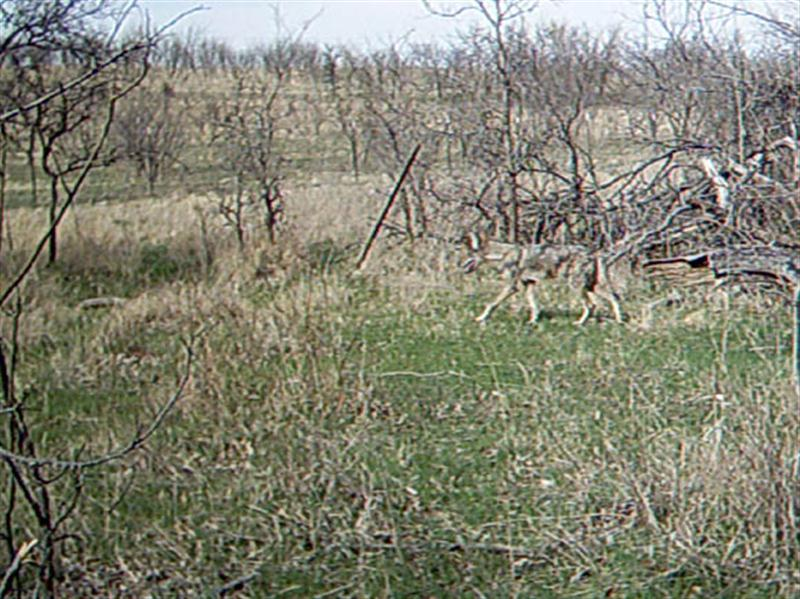 Another Coyote shows up at the location, and is possibly the 6th individual filmed on this day. While it is not readily apparent from this photograph, this Coyote is not in the best of condition. In each of the following two photographs the poor state of this Coyote's coat becomes more and more notable.