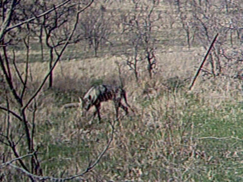 Although it may only be a trick of the light, this Coyote's condition seems very poor in this photograph.