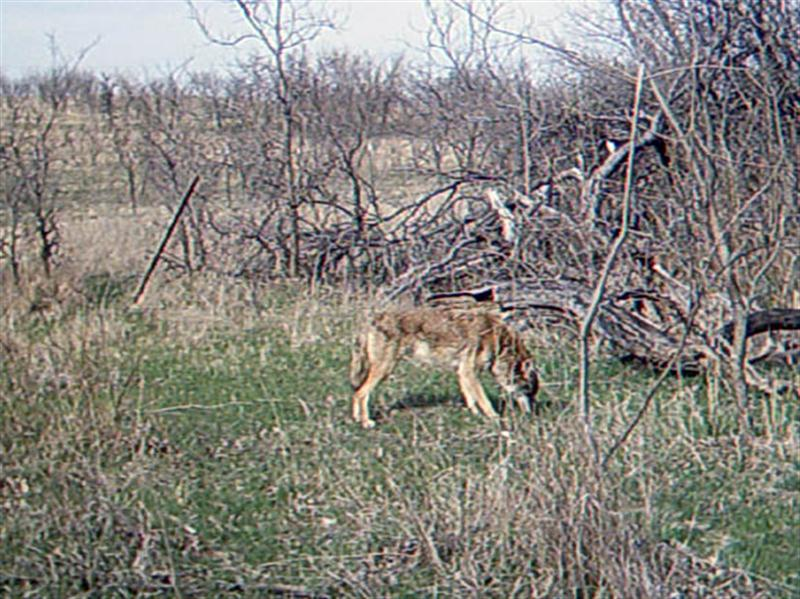 Ten minutes later another Coyote shows up looking for apples. This is the first Coyote that is clearly different from the others in appearance, and may represent the 7th Coyote photographed. Notice the lighter, almost cinnamon coloration of this animal. This Coyote has a thicker coat, and is clearly larger than any of the other Coyotes photographed as part of this series