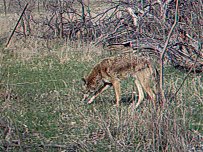 This big, healthy looking Coyote clearly knows where the apples were.