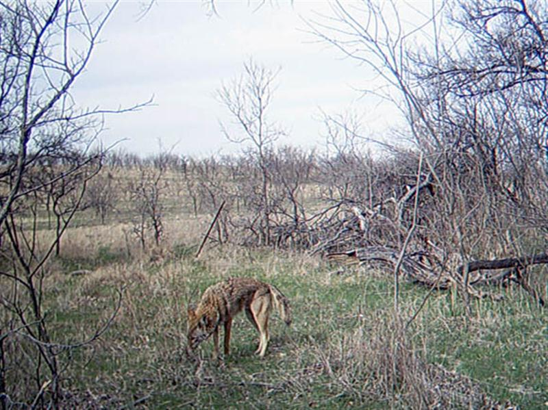 I can't help but wonder if it is the scent of the apples, or the scent of all the Coyotes that have previously visited the site, that continue to draw new Coyotes to this spot in front of the camera.