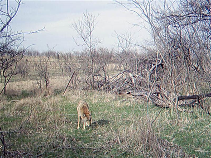 This Coyote, too, seems to realize that something is going on with the camera.