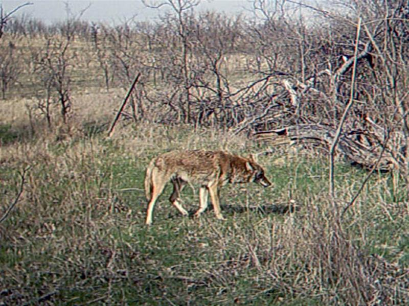 Finally, after nearly fifteen minutes at the site the Coyote decides to move on.