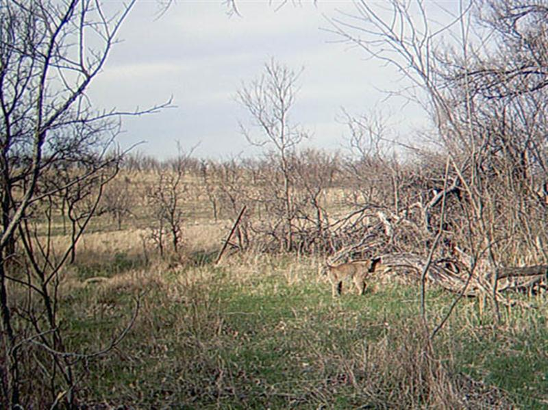 Almost 45 minutes after the last photograph, an unexpected guest shows up at the site. A Bobcat! It is unlikely that this Bobcat was attracted by the apples. So what is it that brought him in front of the camera? It is possible that the cat noticed the Coyote activity and became curious, or he simply may have been patrolling the cattle trail that cuts through this part of the woods.