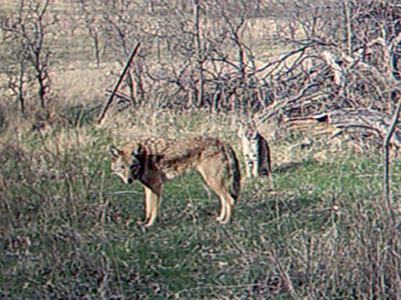 A closer look at the Bobcat and Coyote together.