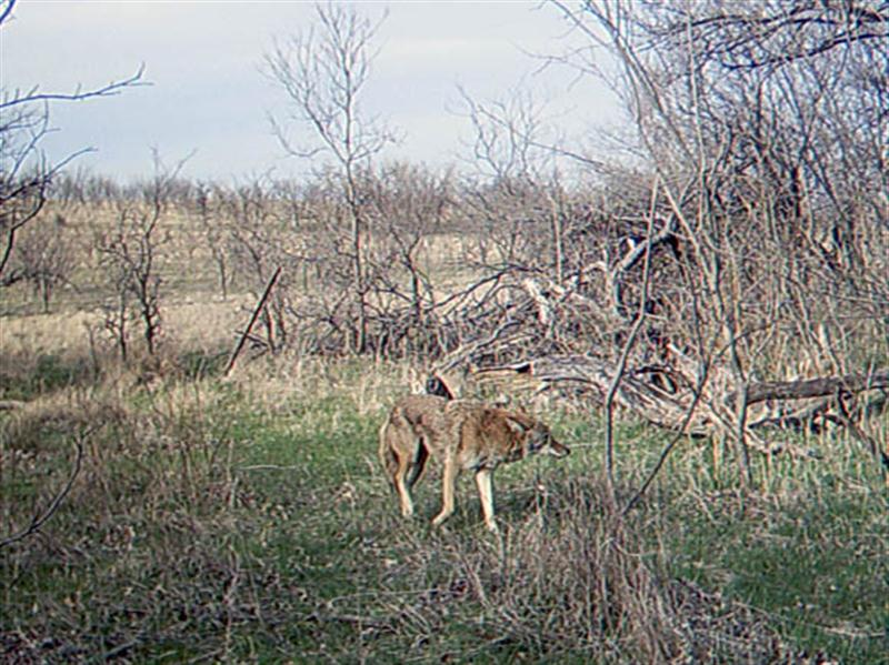 Just a few minutes later the Coyote decides to move on, still with no signs of confrontation.