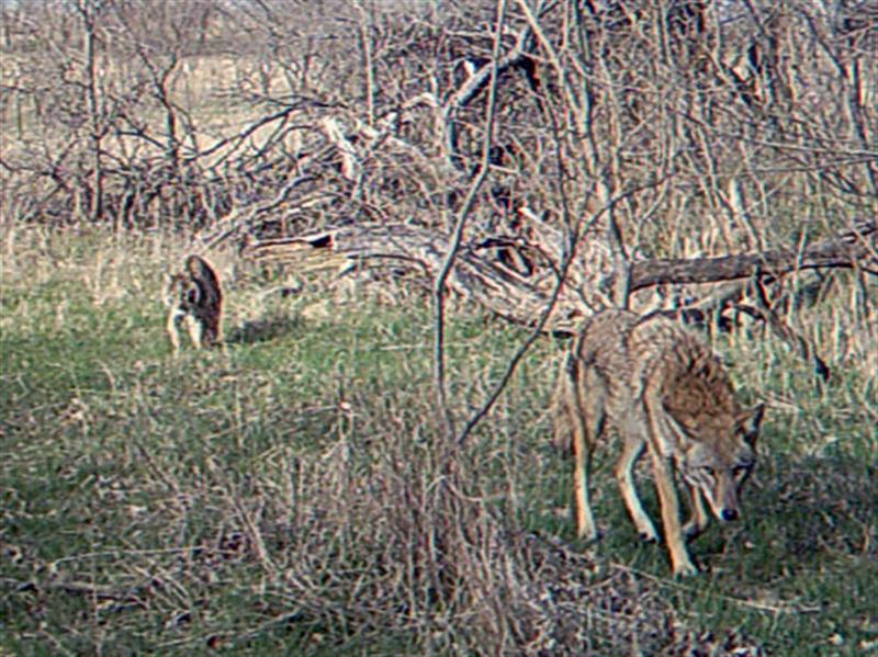 The Coyote and Bobcat leave the area together.