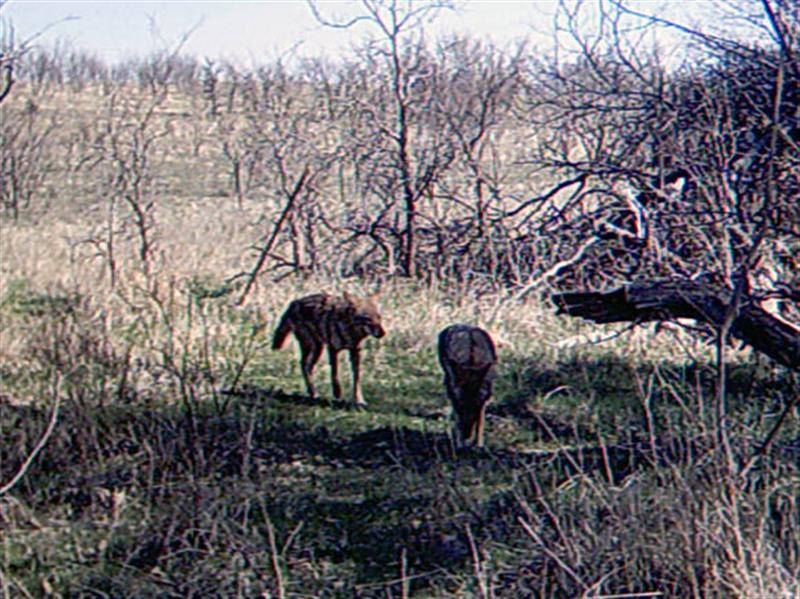 At 11:00 am on the second day of filming this pair of Coyotes shows up at the scene. These two, if different from the previously photographed Coyotes, would bring the grand total of observed Coyotes up to around 8 or 9 individuals.