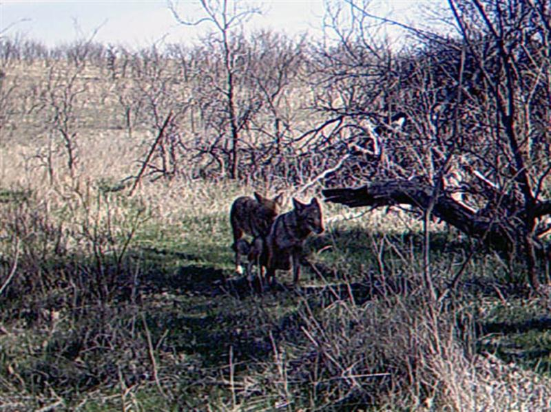 While Coyotes do not hunt in packs, they reportedly do defend specific territories as packs. These packs typically contain around 5 or 6 individuals, with a single reproductive alpha pair. The two Coyotes in this photograph are in the process of mating, suggesting that these two may be the alpha male and female of the pack defending the territory in which I have set up my trail camera.