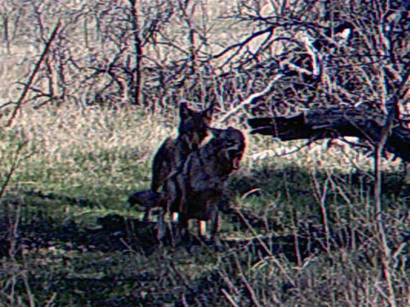 Mating Coyotes.