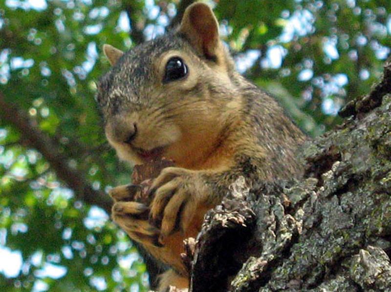 Fox Squirrel - Munching Lunch