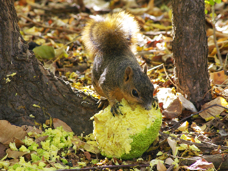 Fox Squirrel - Osage Orange Eater