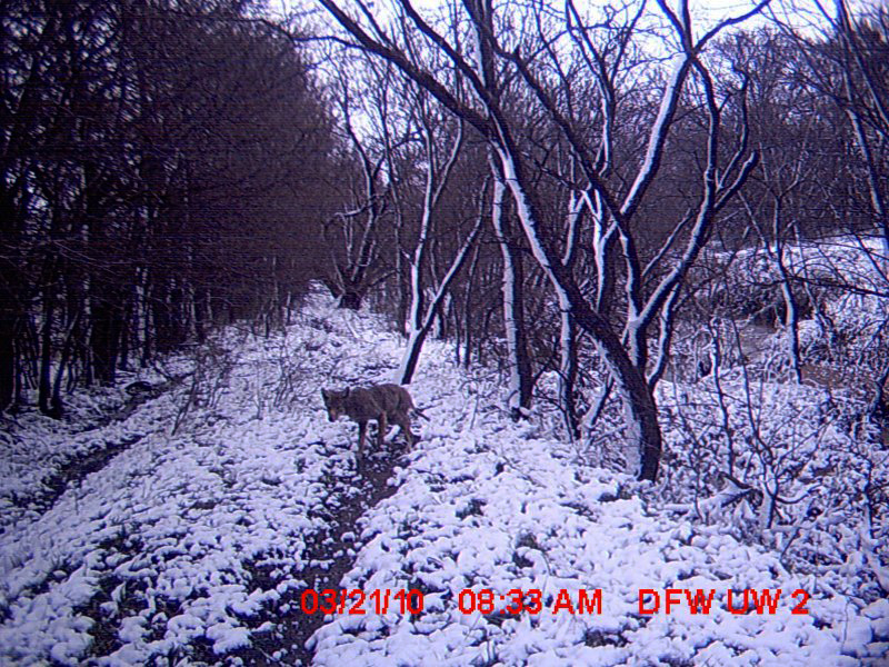 There are four White-tailed Deer in this photograph.