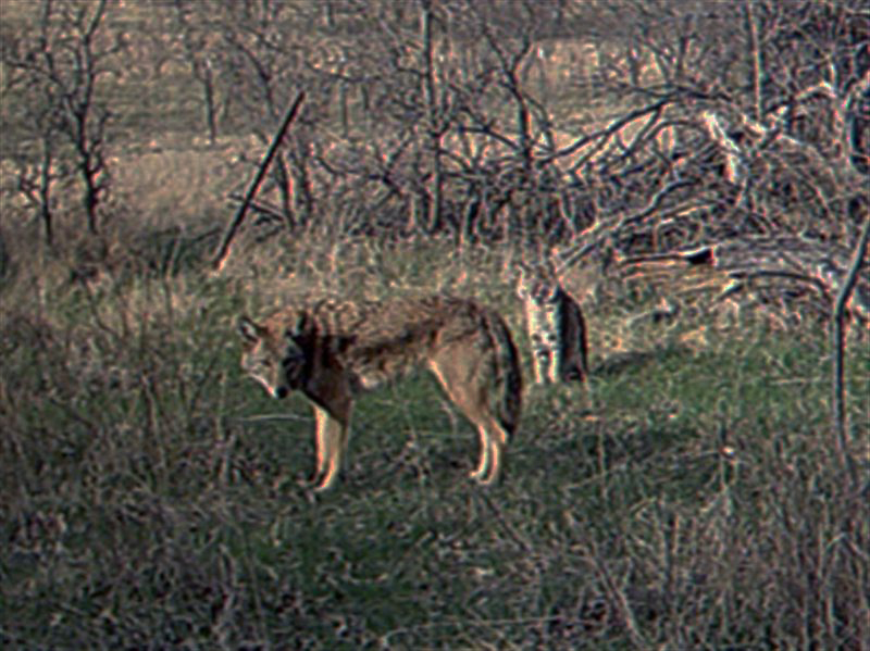 A Coyote and Bobcat together.