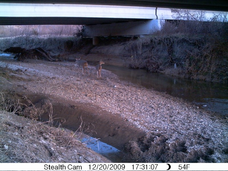 White-tailed Deer transitioning from one plot of land to another by traveling under a bridge.