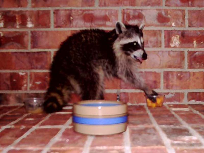 A juvenile Raccoon having a snack on my front porch.
