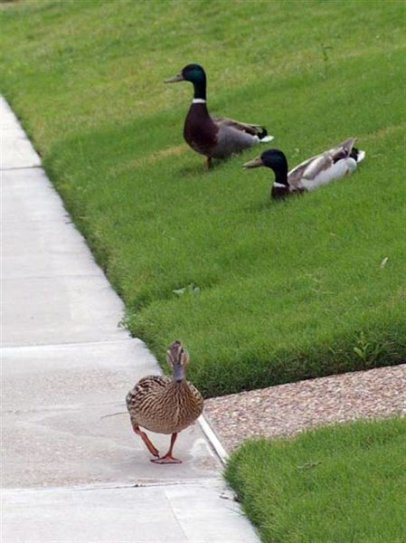 In this picture the Mallards have worked their way down the side walk and are moving into my front yard.