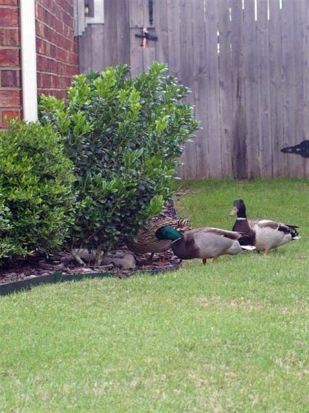 Here the three Mallards have gathered by one of our rain gutter downspouts to drink from the water that had collected there.