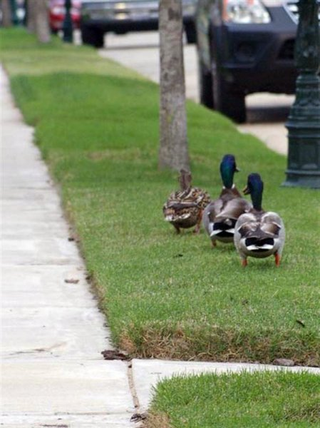 A short while later, the Mallards moved on continuing their trek down our street.