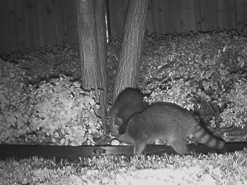 Our backyard is small, and well enclosed by a 6ft/2m fence.  The Raccoons are certainly coming in from somewhere else.