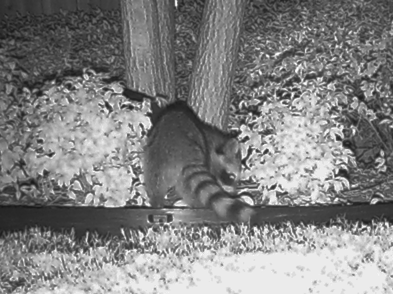 The Raccoons showed up at around 1:00am.  They stayed less than 15 minutes.