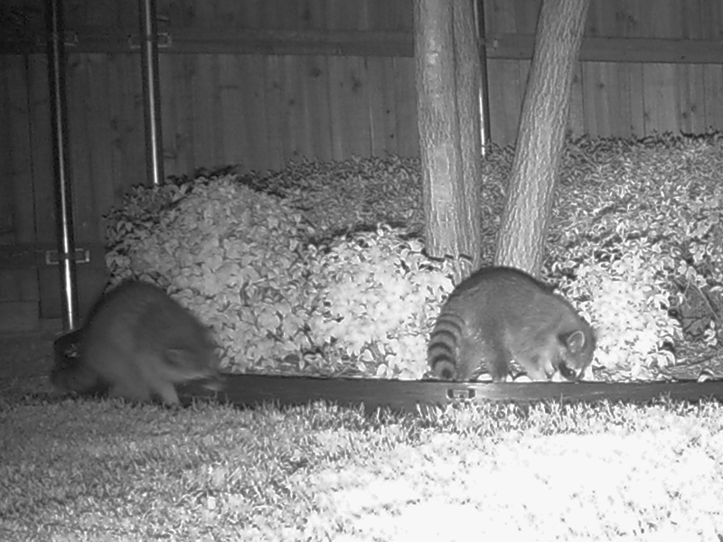 These two Raccoons also finished off the food in the bird feeder before they called it a night.