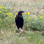 American Crow - Eating a Sandwich