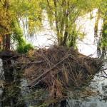 Beaver - A Suburban Pond