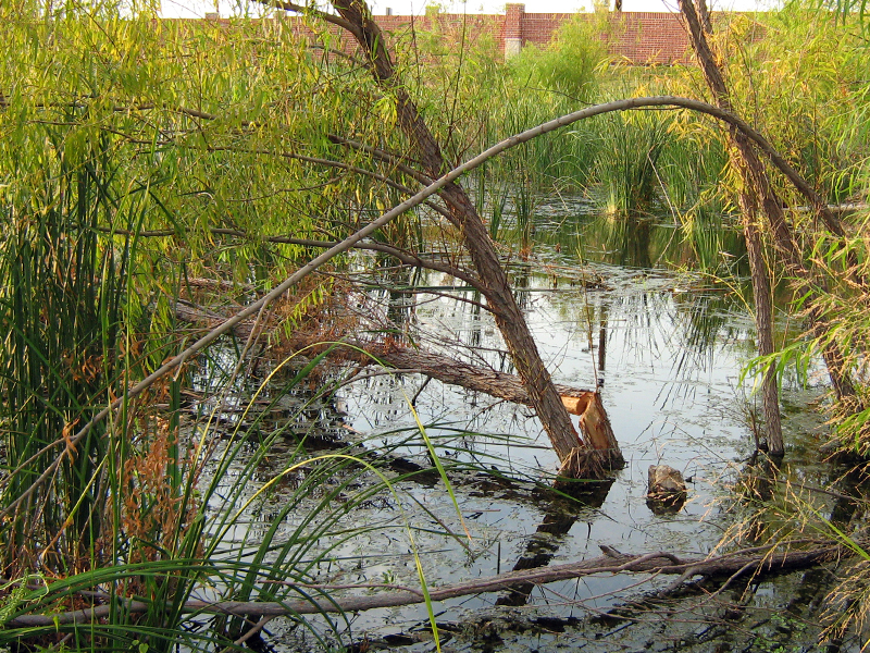 My first clue that there was a Beaver present was when I noticed that some of the larger trees in the area had gone missing.