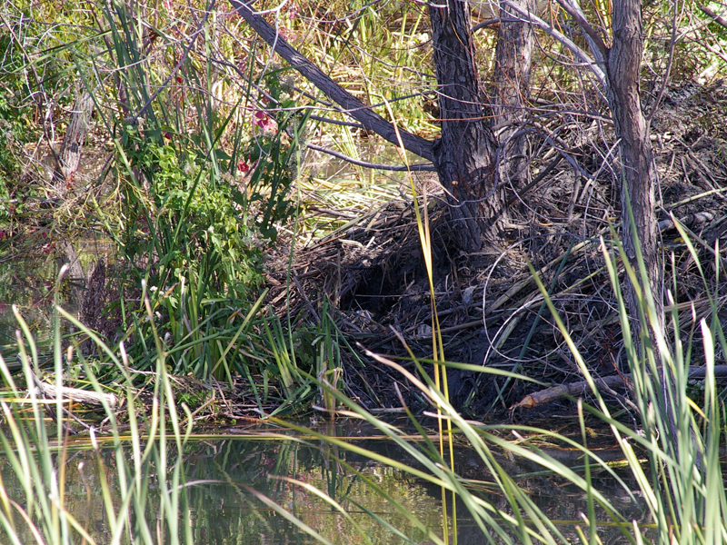 The entrance to the Beaver lodge is clearly visible near the center of this picture.