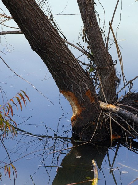 The Beaver has only recently begun work on taking down this tree.