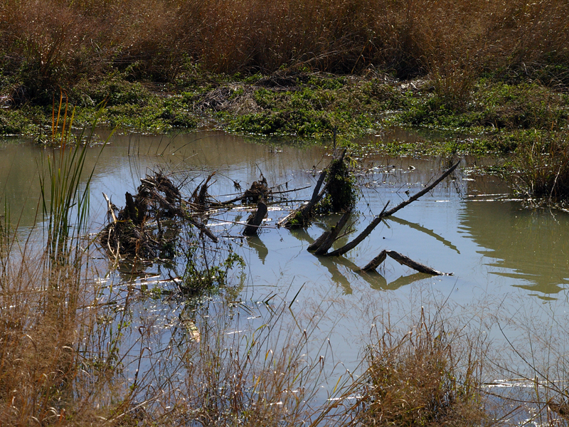 The Beaver is working to clear the center of the pond, as well as its perimeter.