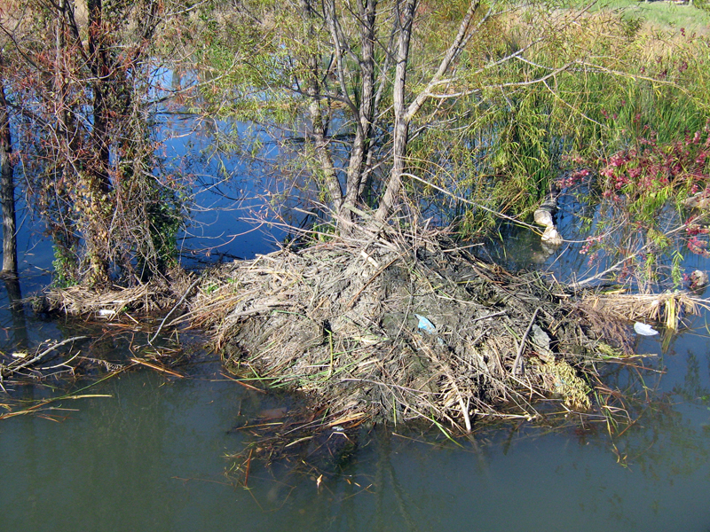 The Beaver's lodge continues to grow. The mud and reeds on the right side of the lodge are relatively fresh.