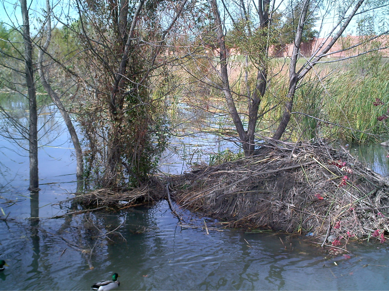 This photograph was taken around noon on the day before the mud was added to the Beaver's lodge. The Mallards in the foreground regularly trigger the camera's motion detector.