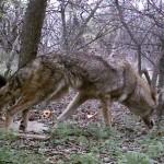 Coyote - Healthy